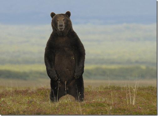 bear-pissing-21862-1298193367-1