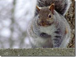 fat_squirrel_by_thegreatpants-d36fej6