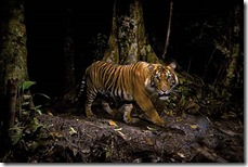 Winner.  This is a very special tiger. He is one of fewer than 400-500 wild, critically endangered Sumatran tigers. It was a huge challenge for Steve to photograph one, as those that have escaped poaching and forest clearance are mostly confined to patches of forests or the mountains and are extremely shy. A former tiger hunter, now employed as a park ranger, advised Steve where to set up his camera trap. But the challenge remained to position the remote-control camera and the lights in exactly the right position so the tiger would be lit centre-stage in front of a backdrop of forest habitat. The seemingly unstoppable growth of oil-palm plantations in Sumatra and continuing poaching for body parts for use in traditional Chinese medicine indicate that this subspecies of tiger is destined to become extinct in the wild, as have its Javan and Balinese relatives.