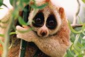 03-Slow-Loris-Cute-Animals-That-Kill.jpg