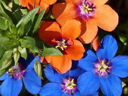 425x318-Blue-and-Scarlet-Pimpernel.jpg