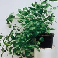 Asparagus-asparagoides278.jpg