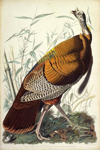 AudubonTurkey.jpg