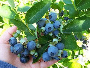 Blueberry-Cluster-1.jpg