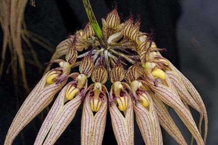 Bulbophyllum-Elizabeth-Ann-Jean-640x427.jpg