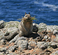 California_ground_squirrel.jpg