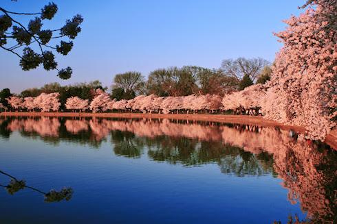 CherryBlossomTidalBasin.jpg