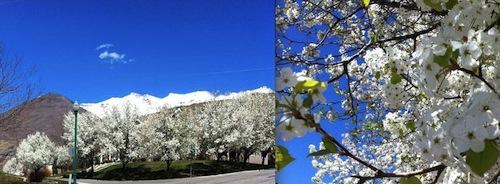CherryTrees.jpg