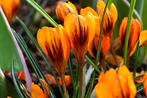 Crocus-Orange-Monarc.jpg