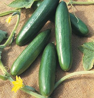 CucumberPicture.jpg