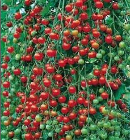DavesTomatoes.jpg
