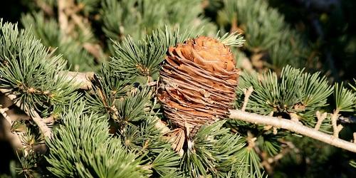 Deodar-Cedar-cone.jpg