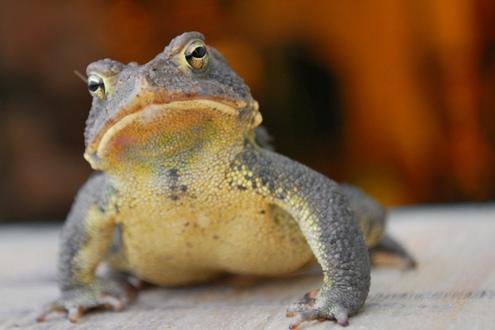 Eastern_american_toad.jpg