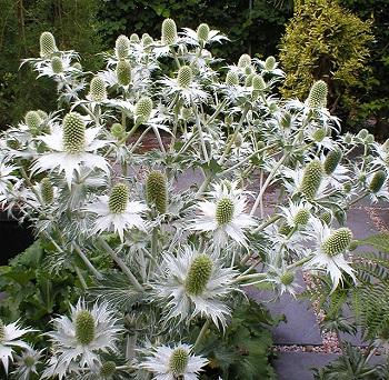 Eryngium-giganteum-071006-.jpg