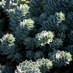 Euphorbia_myrsinites1.JPG
