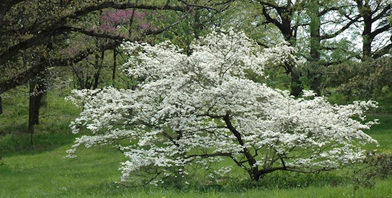 Flowering-Dogwood-Tree.jpg