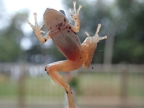 FrogOnWindowly.JPG