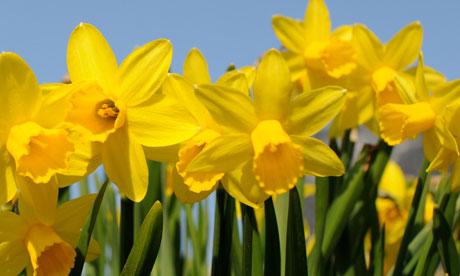 Garden-week-Daffodils-006.jpg