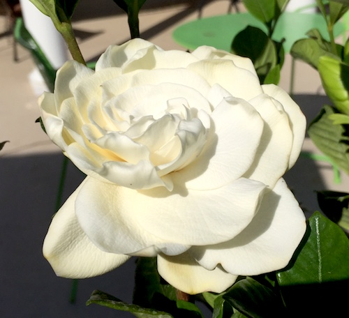 GardeniaFlower.jpg