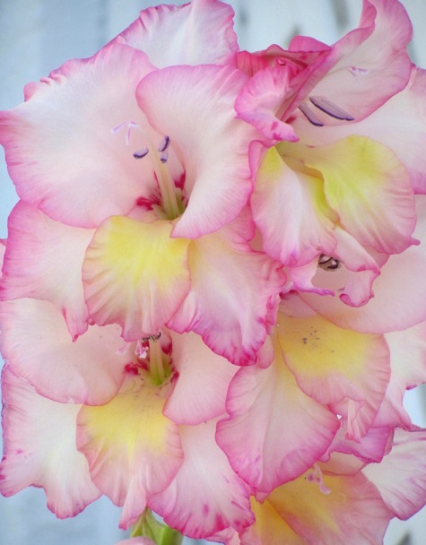 Gladiolus40.jpg