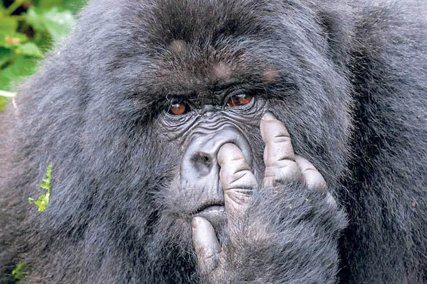 Gorilla-picking-its-nose-476958.jpg