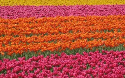 HollandTulips.jpg