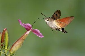 Hummingbird-Hawk-Moth.jpg