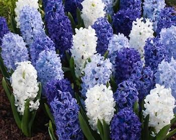 HyacinthBlueMix.jpg