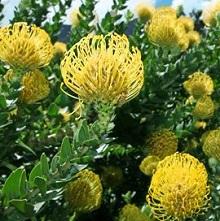 Leucospermum-Ca.jpg