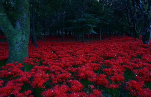 Lycoris_radiata_-_Kinchakuda.jpg
