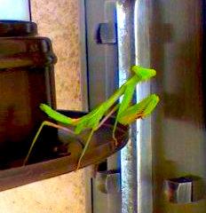 Mantis.jpg