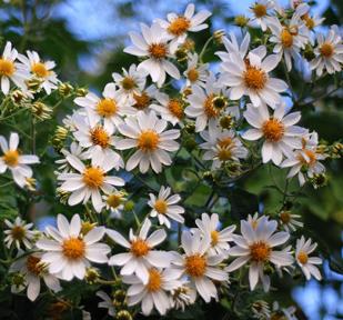 Montanoa_grandifloranew.jpg