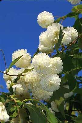 MontenoaGrandifloraPuffy.jpg