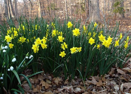 Narcissus_Trevithian_.jpg