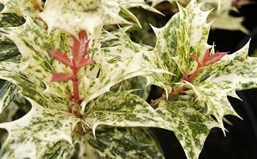 Osmanthus-Goshiki-Foliage.jpg