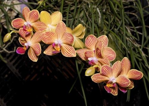 Phalaenopsisss.jpg