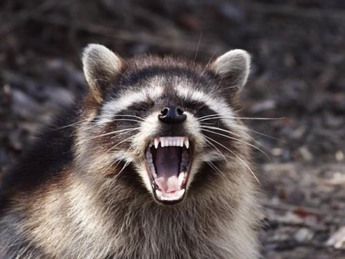 Rabid_Raccoons.jpg