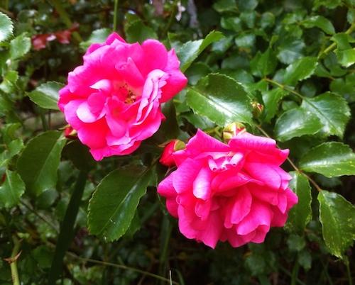 RosesSmall.JPG