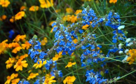 Salvia-uliginosa-475x292.jpg