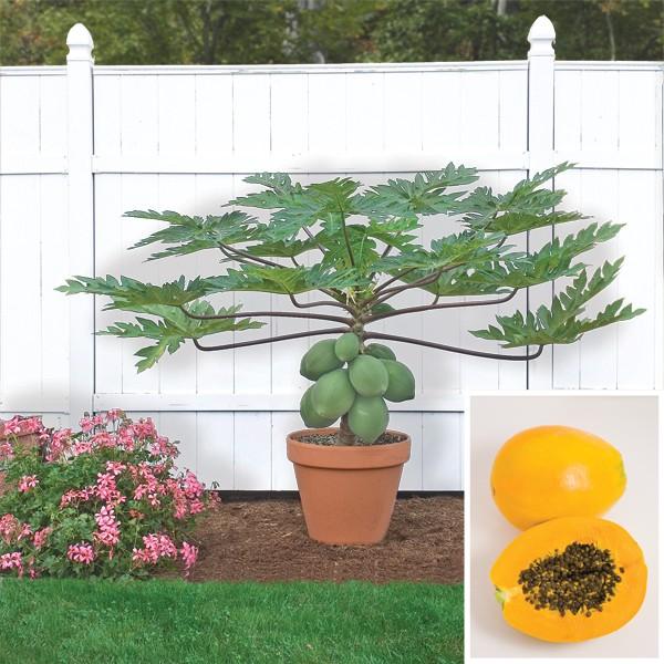 Как вырастить папайя из косточки в домашних условиях