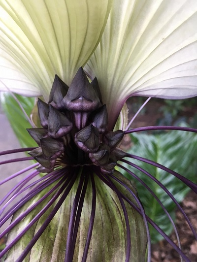 Tacca Bud Day 8 Close Up 2.jpg