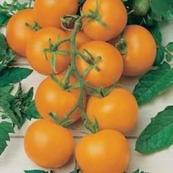Tomato-Gold-Nugget.jpg