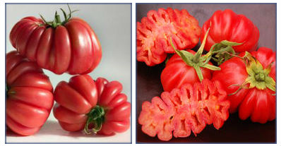 TomatoZapotecMontage.jpg