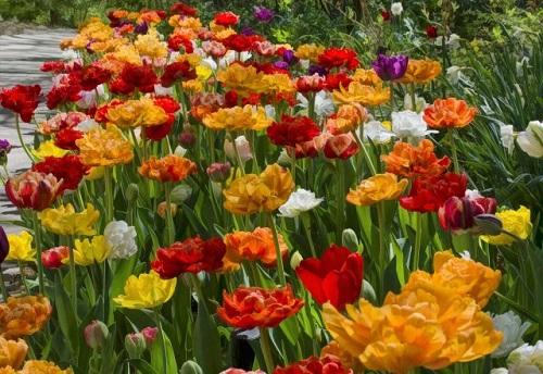 Tulips-3ooo.jpg