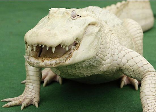 albinoalligator.JPG