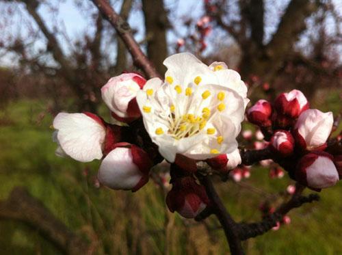 apricot-bloom.jpg