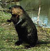 beavers-01.jpg