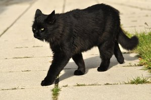 black_cat_stock_09_by_windfuchs-d4ldnra.jpg