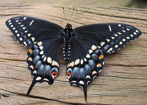 blkswallowtail.jpg