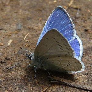 blue_butterfly_503.jpg